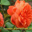 Квіти троянди. (Цветы  розы) www.parostok.in.ua