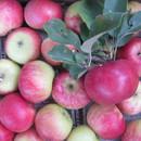 Яблоки и пр.