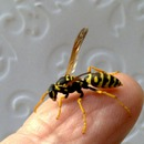 VELVAD. 2017. GAME WITH WASP. 43